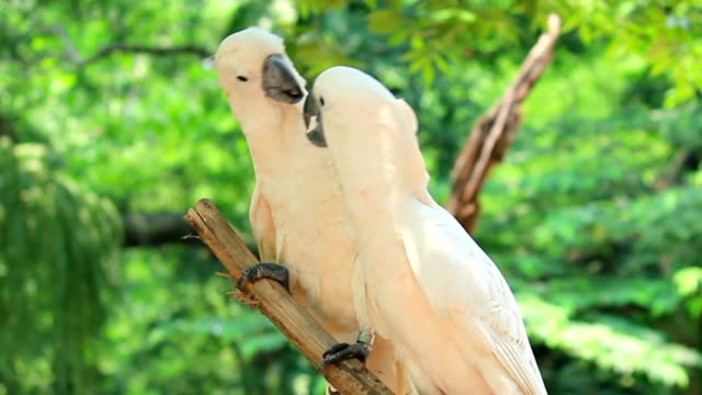 stockvideo's en b-roll-footage met yellow-crested white cockatoo birds (cacatua sulphurea) soulful kiss - animal