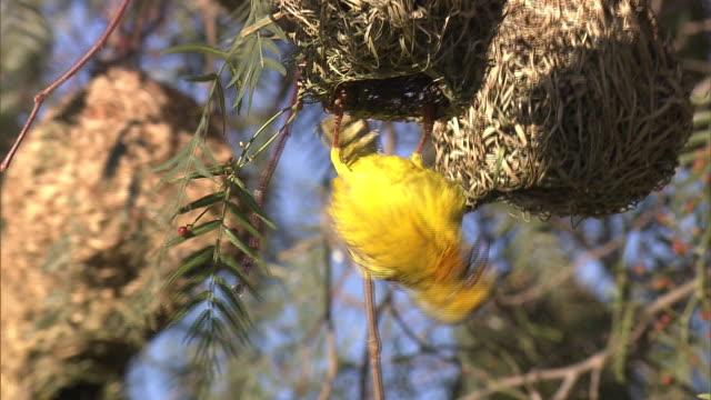 yellow-crowned bishop in the nest - vogelnest stock-videos und b-roll-filmmaterial