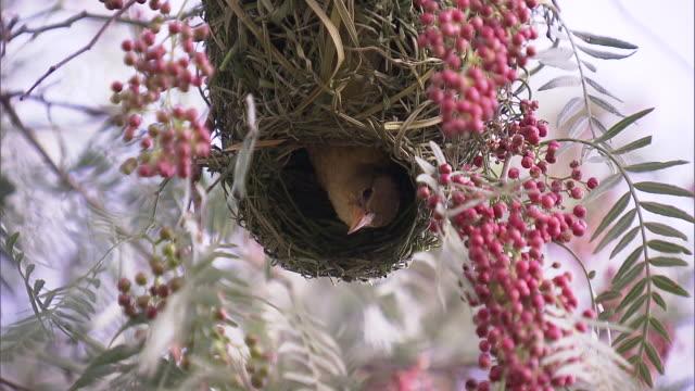 vidéos et rushes de yellow-crowned bishop in the nest - nid d'oiseau