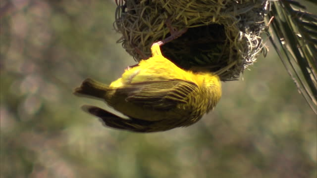 yellow-crowned bishop in the nest - animal nest stock videos and b-roll footage