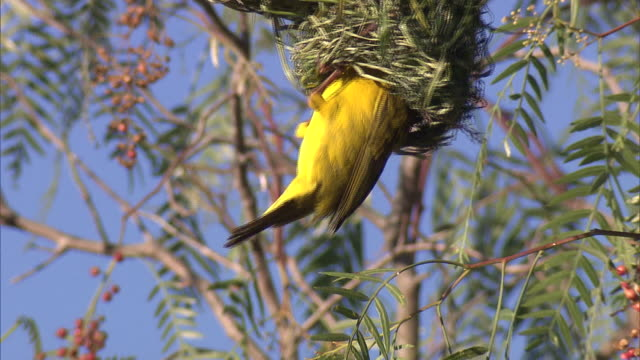 vídeos de stock e filmes b-roll de yellow-crowned bishop in the nest - animal mouth