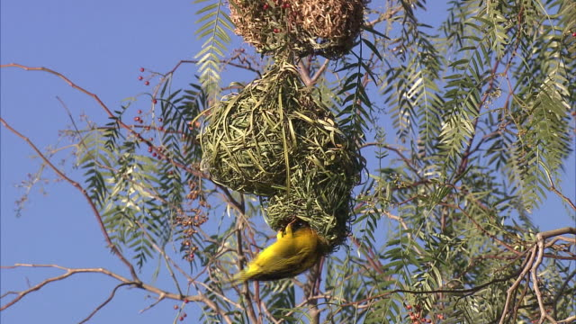 yellow-crowned bishop in the nest - becco video stock e b–roll