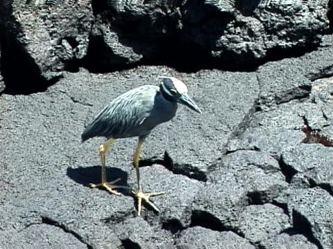 vidéos et rushes de yellow-crowned night heron walking - organisme aquatique