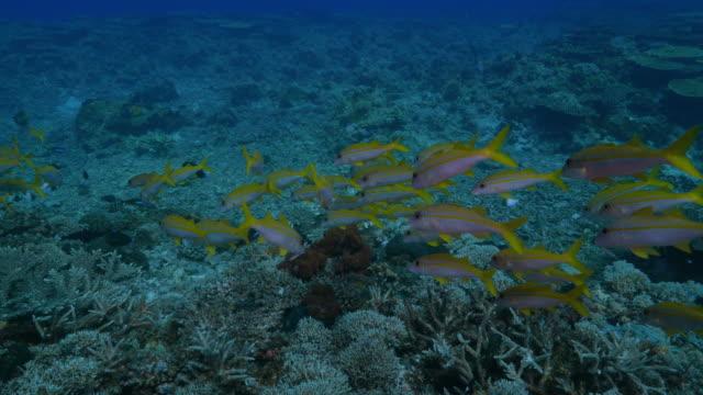 yellowfin goatfish, schooling, coral reef, philippines - goatfish stock videos & royalty-free footage