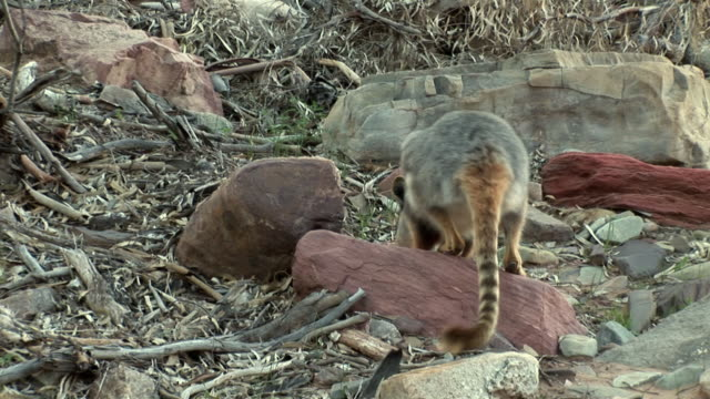ms ts yellow-footed rock-wallaby (petrogale xanthopus) at brachina gorge, south australia, australia - 巨礫点の映像素材/bロール