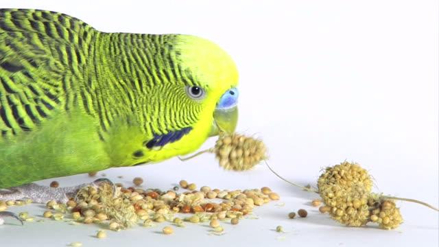 vidéos et rushes de jaune-vert budgie - perruche ondulée