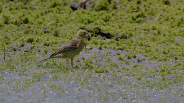 yellowhammer bird (emberiza citrinella) carrying food in its beak, south downs - サウスダウンズ点の映像素材/bロール