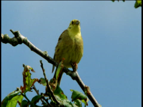yellowhammer fluffs itself up and sings on branch, devon - birdsong stock videos & royalty-free footage