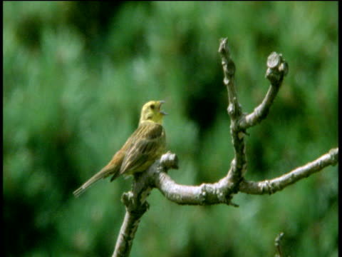 yellowhammer sits on branch and sings, devon - birdsong stock videos & royalty-free footage