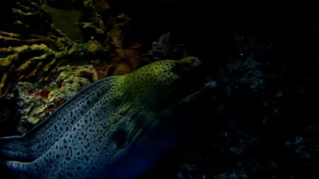 yellowmargin moray. - yellow margined moray eel stock videos and b-roll footage