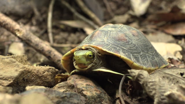 yellow-margined box turtle in okinawa - okinawa prefecture stock videos & royalty-free footage