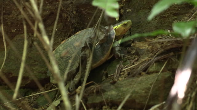 yellow-margined box turtle in okinawa - tortoise shell stock videos & royalty-free footage