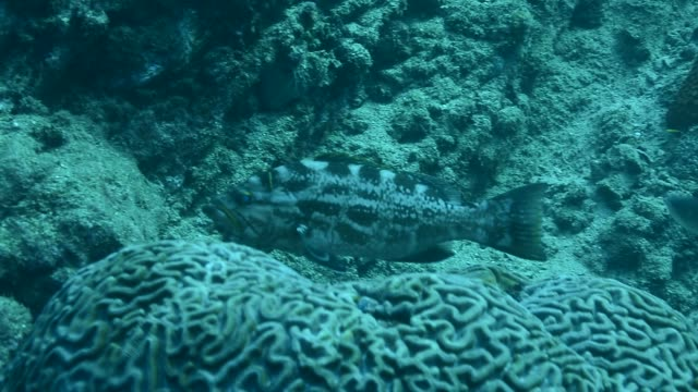 yellowmouth grouper. - dykarperspektiv bildbanksvideor och videomaterial från bakom kulisserna