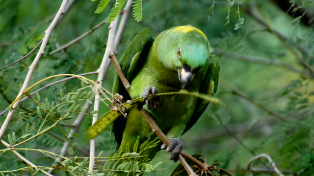 yellow-naped parrot feeding (amazona auropalliata) in natural surroundings at carrara national park - parrot stock videos & royalty-free footage
