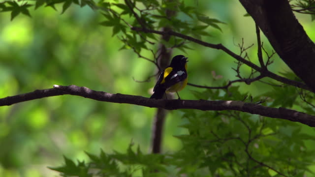 yellow-rumped flycatcher (ficedula zanthopygia) on the branch - wildlife conservation stock videos & royalty-free footage