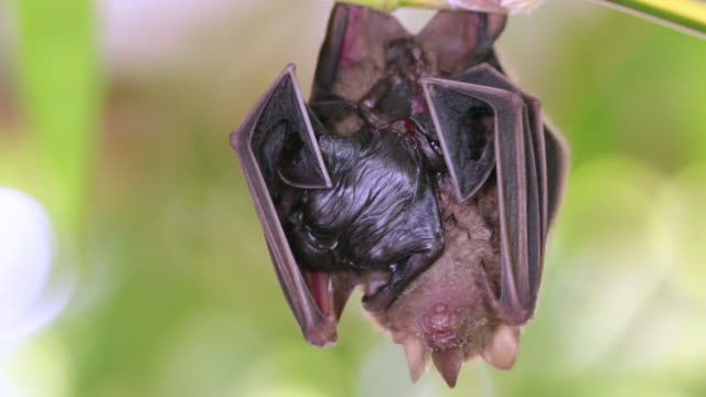 Yellow-shouldered Bat (Sturnira sp.), mother with newborn baby. In the Ecuadorian Amazon.