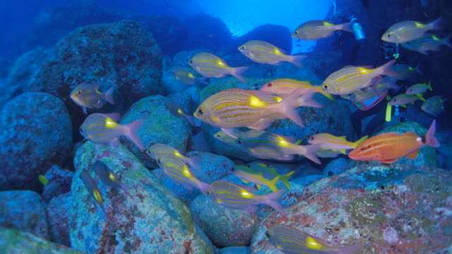 Yellowspot Emperor (Sea Bream) schooling undersea