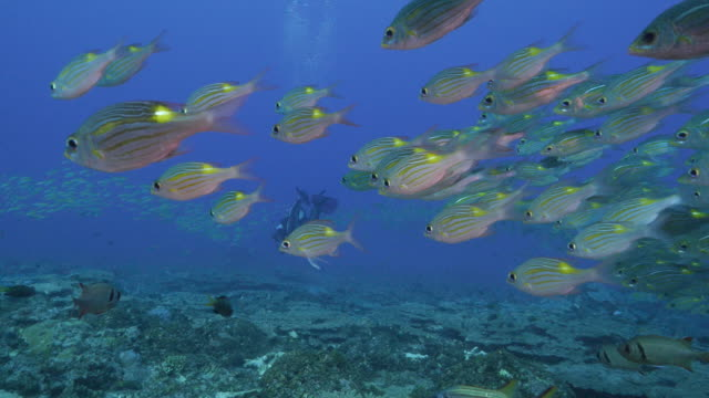 Yellowspot Sea Bream fish schooling in the reef, Japan