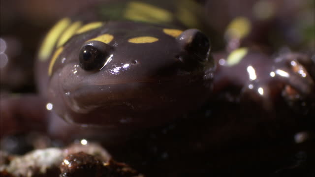 a yellow-spotted salamander crawls over a wet forest floor. - wet wet wet stock videos & royalty-free footage