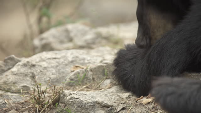 yellowstone - bear foot / wyoming, united states - animal head stock videos & royalty-free footage