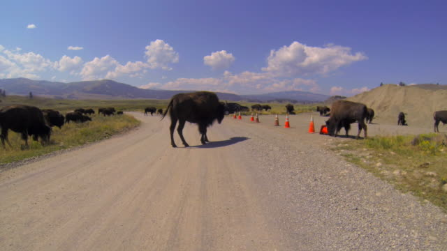 yellowstone buffalo plays with traffic cones, then other buffalo cross road in yellowstone national park, wy - other点の映像素材/bロール