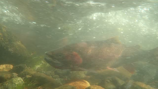 yellowstone cutthroat trout - montana western usa stock videos & royalty-free footage