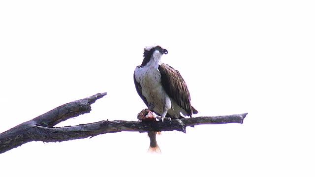 yellowstone national park birds in spring - ミサゴ点の映像素材/bロール