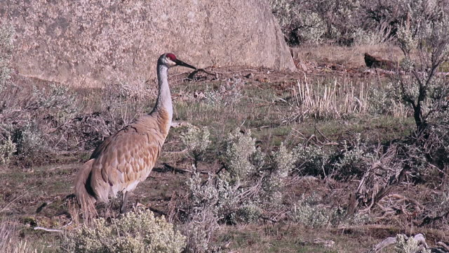 yellowstone national park birds in spring - sandhill crane stock videos & royalty-free footage