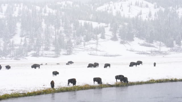 american bison (bison bison) , yellowstone national park, wyoming, usa, north america, america - american bison stock videos & royalty-free footage