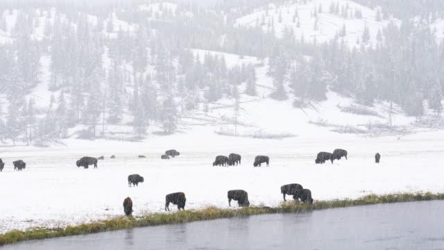 american bison (bison bison) , yellowstone national park, wyoming, usa, north america, america - amerikanischer bison stock-videos und b-roll-filmmaterial