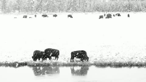 american bison (bison bison) , yellowstone national park, wyoming, usa, north america, america - yellowstone national park stock videos & royalty-free footage