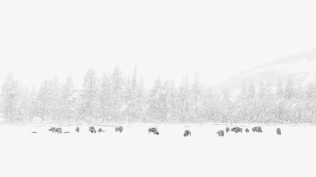 stockvideo's en b-roll-footage met american bison (bison bison) , yellowstone national park, wyoming, usa, north america, america - yellowstone national park