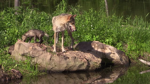 yellowstone - wolf and wolf pup near water / wyoming, united states - three animals stock videos & royalty-free footage