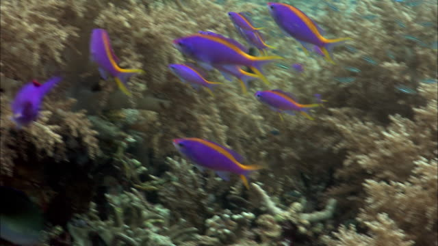 Yellowstriped anthias (Pseudanthias tuka) swim over coral reef, West Papua, Indonesia