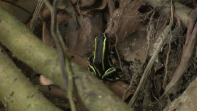 yellow-striped poison dart frog [dendrobates truncatus] in dead leaves and branches, sits for a few seconds before leaping, tayrona national natural park [parque nacional natural tayrona], sierra nevada, colombia - nationalpark stock-videos und b-roll-filmmaterial