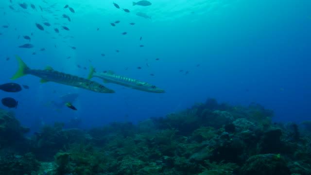 Gelbschwanz-Barrakudas, Korallenriff, undersea