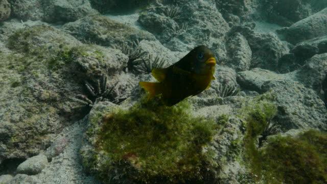 Yellow-tail damselfish, Stegastes arcifrons, Galapagos Islands