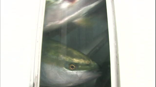 yellowtail fish swim in the tank of a live fish car in saiki, japan. - 日本語の文字点の映像素材/bロール