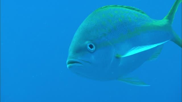 yellowtail snapper, ocyurus chrysurus, bahamas  - snapper fish stock videos & royalty-free footage