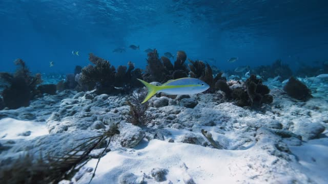 Yellowtail Snapper Shallow Reef
