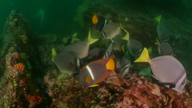 yellowtail surgeonfish and angelfish feeding on sea moss - angelfish stock videos & royalty-free footage