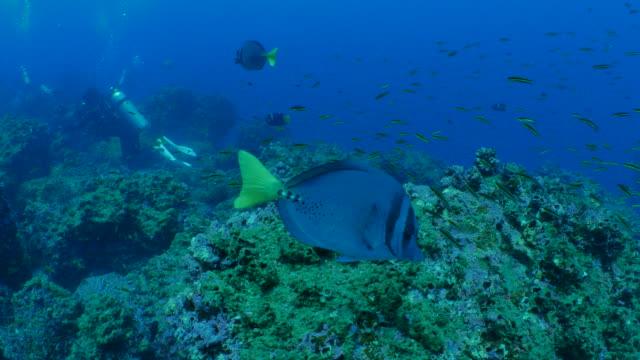 ブリ クロハギと海底のリーフでメキシコ hogfish - チャールズ・ダーウィン点の映像素材/bロール