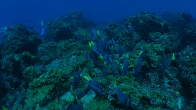 サンゴ礁でブリ クロハギ スクーリング - チャールズ・ダーウィン点の映像素材/bロール
