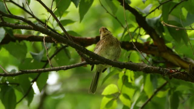 vidéos et rushes de bunting à gorge jaune (emberiza elegans) - réserve naturelle de khingan - grâce