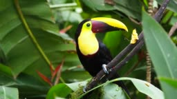 Yellow-throated (Black-mandibled) Toucan - Ramphastos ambiguus is a large toucan in the family Ramphastidae