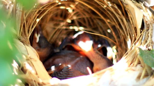 yellow ventilate bulbul alimentazione uccelli bambino nel nido - portello video stock e b–roll
