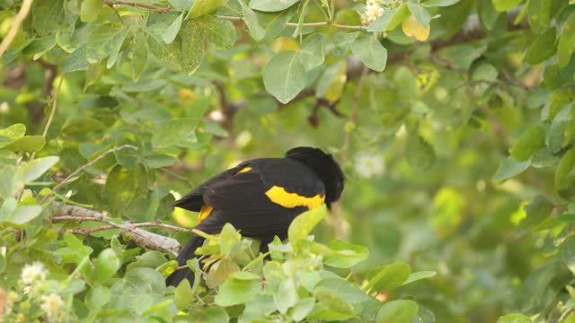 yellow-winged cacique - north america stock videos & royalty-free footage