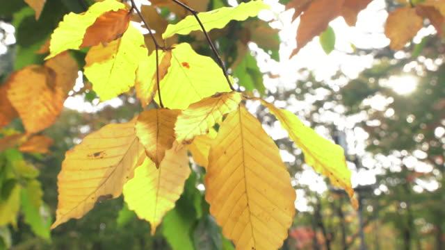 yellpw autumn foliage of the onuma quasi-national park - deciduous tree stock videos & royalty-free footage