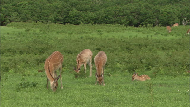 Yezo deer graze in a verdant meadow.