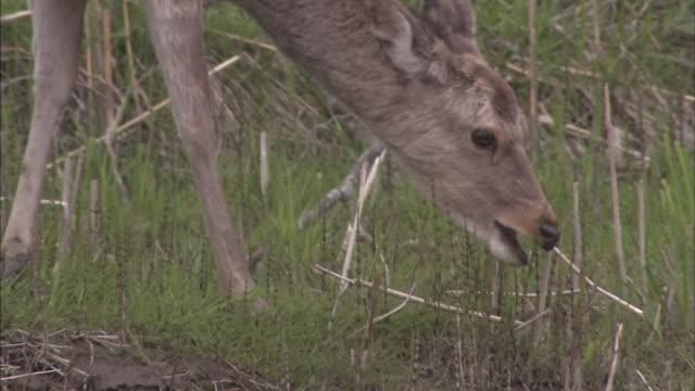 yezo deer in kushiro marsh - 湿地点の映像素材/bロール